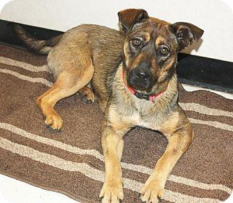 Norwegian Elkhound Mix Dog for adoption in Cottageville, West Virginia - Panini