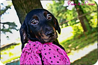 Boxer/Labrador Retriever Mix Dog for adoption in Paducah, Kentucky - Bettina