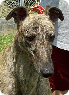 Greyhound Dog for adoption in Randleman, North Carolina - Polly