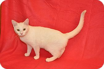 Domestic Shorthair Cat for adoption in Portland, Maine - Snowflake (CW)