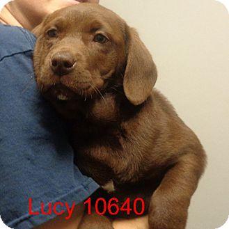 Labrador Retriever Mix Puppy for adoption in Manassas, Virginia - Lucy