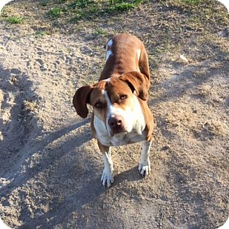 Pit Bull Terrier Mix Dog for adoption in Bandera, Texas - Latte