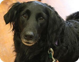 Collie/Retriever (Unknown Type) Mix Dog for adoption in London, Ontario - Cinder
