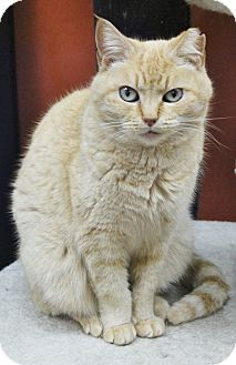 Domestic Shorthair Cat for adoption in Benbrook, Texas - Ginger
