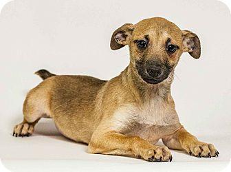 Boxer/Beagle Mix Puppy for adoption in Yelm, Washington - Demsey