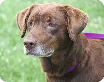 Labrador Retriever Mix Dog for adoption in Marietta, Ohio - Murphy Brown