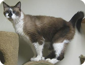 Ragdoll Cat for adoption in Gary, Indiana - Smores