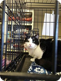 Domestic Shorthair Cat for adoption in Avon, Ohio - Miriam