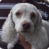 Adopt A Pet :: Odom - Canoga Park, CA