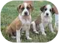 Hound (Unknown Type)/Beagle Mix Puppy for adoption in Jersey City, New Jersey - Beamer and Bently