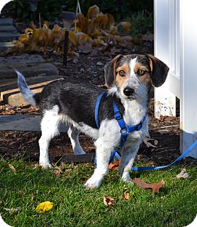Terrier (Unknown Type, Small)/Beagle Mix Dog for adoption in Westport, Connecticut - *Fletcher - PENDING