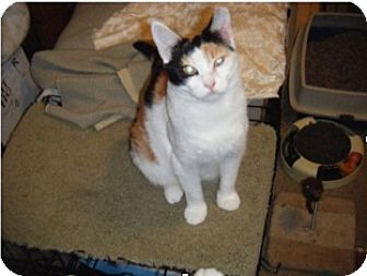 Calico Cat for adoption in Colmar, Pennsylvania - Abbee - Adoption Pending!