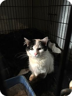 Domestic Mediumhair Cat for adoption in Strongsville, Ohio - Olaf
