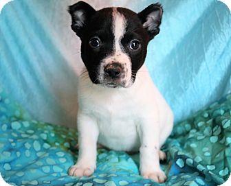Border Collie/Labrador Retriever Mix Puppy for adoption in Staunton, Virginia - Calvin