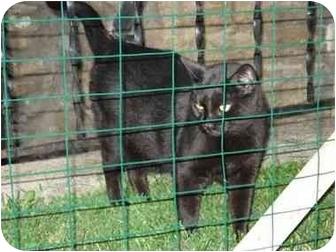 Bombay Cat for adoption in cincinnati, Ohio - JAZZ Lovers II