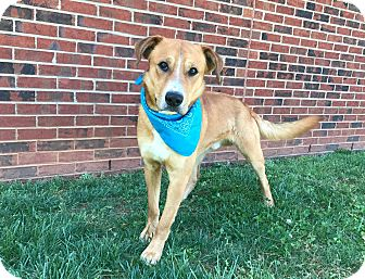 Boxer/Labrador Retriever Mix Dog for adoption in Lexington, North Carolina - BUDDY