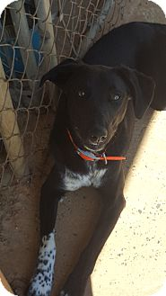 Border Collie/Labrador Retriever Mix Dog for adoption in Shelby, North Carolina - Treble