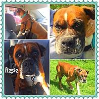 Adopt A Pet :: Rosie - Sharon Center, OH