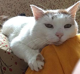 Domestic Shorthair Cat for adoption in Washburn, Wisconsin - Mashkiki