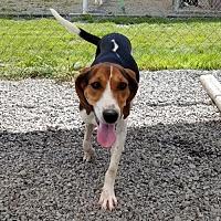 Adopt A Pet :: Freeda - Waynesville, NC