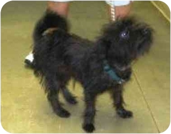 Yorkie, Yorkshire Terrier/Poodle (Miniature) Mix Dog for adoption in Osseo, Minnesota - Snickers