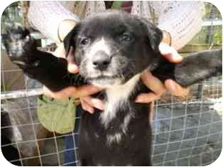 Labrador Retriever/German Shepherd Dog Mix Puppy for adoption in Arlington, Virginia - Zebra
