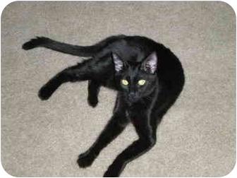 Domestic Shorthair Cat for adoption in Davis, California - Raven