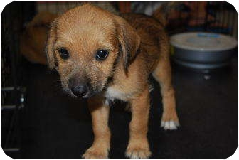 Terrier (Unknown Type, Small) Mix Puppy for adoption in Bunkie, Louisiana - Chinook