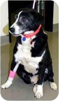 Pointer/Labrador Retriever Mix Dog for adoption in Los Angeles, California - Bill