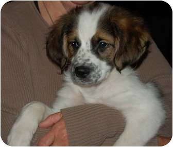Cavalier King Charles Spaniel/Border Collie Mix Puppy for adoption in Chula Vista, California - Desi