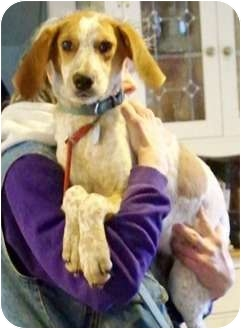Coonhound Mix Puppy for adoption in New Boston, New Hampshire - Opie