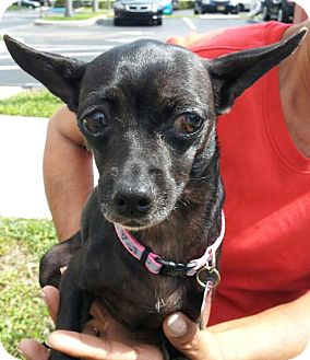 Chihuahua Mix Dog for adoption in Coral Springs, Florida - Ceci