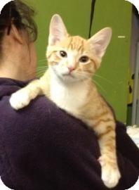 Domestic Shorthair Kitten for adoption in West Des Moines, Iowa - Sugar Cookie
