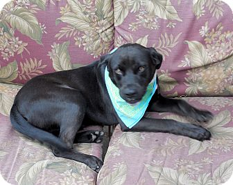 Labrador Retriever/Boxer Mix Dog for adoption in Ormond Beach, Florida - Luke