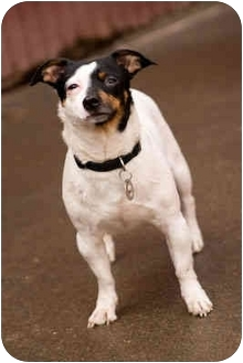 Jack Russell Terrier/Rat Terrier Mix Dog for adoption in Portland, Oregon - Chunk