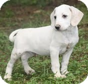 Pointer/Hound (Unknown Type) Mix Puppy for adoption in Windham, New Hampshire - Elmer (In New England)