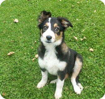 Australian Shepherd/Border Collie Mix Puppy for adoption in Liberty Center, Ohio - Sadie