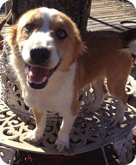 Eskimo Dog Mix Dog for adoption in East Hartford, Connecticut - christmas 2 meet me 12/20
