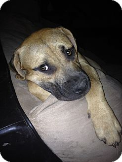 Pit Bull Terrier Mix Dog for adoption in Wichita Falls, Texas - Lilo
