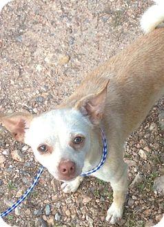 Chihuahua Dog for adoption in Tahlequah, Oklahoma - Riley