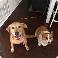 Adopt A Pet :: Cowboy Jack - Inola, OK