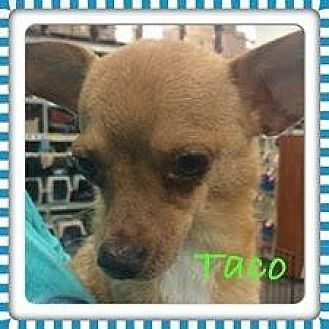 Chihuahua Mix Dog for adoption in Fresno, California - Taco