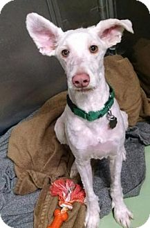 Poodle (Standard)/Schnauzer (Standard) Mix Puppy for adoption in Oak Park, Illinois - Odie