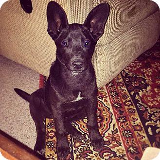 Labrador Retriever/Shepherd (Unknown Type) Mix Puppy for adoption in Huntsville, Alabama - Minnie