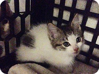 Domestic Mediumhair Kitten for adoption in East Brunswick, New Jersey - Frankie