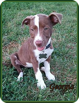 English Pointer Mix Puppy for adoption in Lincoln, Nebraska - GEORGIA
