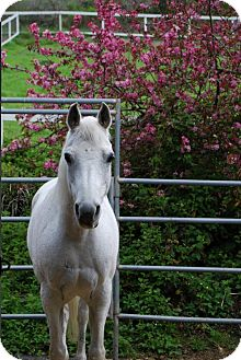 Arabian for adoption in Los Gatos, California - Jewelia