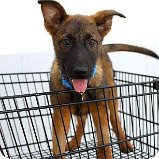 German Shepherd Dog Mix Puppy for adoption in Detroit, Michigan - Atlas-Adopted!