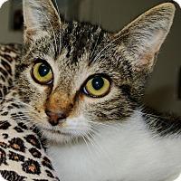 Domestic Shorthair Kitten for adoption in Bulverde, Texas - Gabby