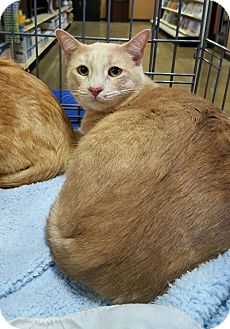 Domestic Shorthair Cat for adoption in Arcadia, California - Fire